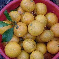 Мандарин Ковано Васе,плоды