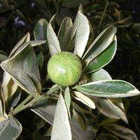 Каламондин-плод
