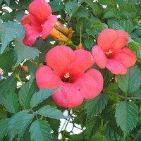 Кампсис крупноцветковый