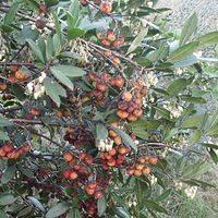 Арбутус - земляничное дерево