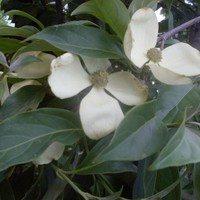 Клубничное дерево, цвет