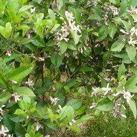 Лимон Мейера цветёт
