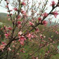 Нектарин цветёт