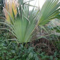 Пальма сабаль малый