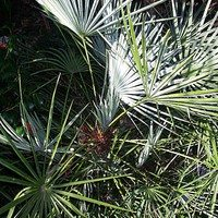 Пальма хамеропс голубой