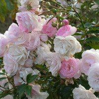 Роза Зефир - осеннее цветение