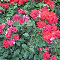Роза Пионер