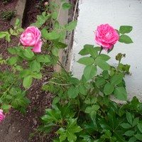 Роза чайная сирийская