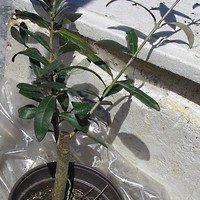 саженец маслины