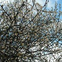 Трифолиата, цвет