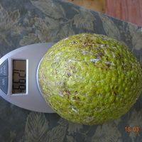 Вес плода хлебного дерева
