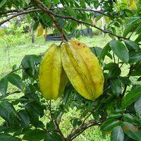 Плоды карамболы