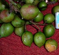 Лимончелло илиИспанский лайм