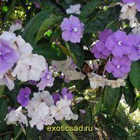 Брунфелзия крупноцветковая