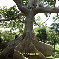 Сейба - Хлопковое дерево джунглей