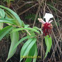 Костус амазонский