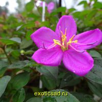 Тибухина карликовая ( диссотис круглолистный)