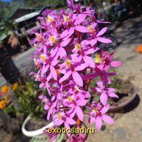 Эпидендрум - орхидея