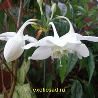 Амазонская лилия - эухарис