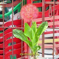 Гемантус многоцветковый - Кровавая лилия
