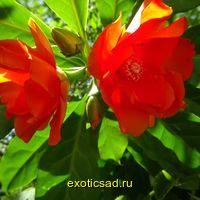 Переския Оранжевая Роза