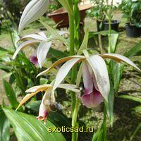 Орхидея китайская грунтовая