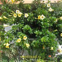 Соландра крупноцветковая