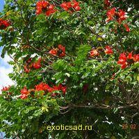Спатодея - африканское тюльпановое дерево