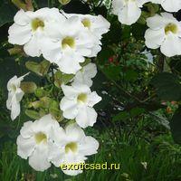 Тунбергия крупноцветковая, белая