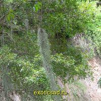 Тилляндсия Испанский мох